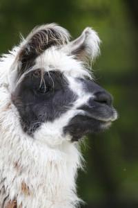Lama, © Tierpark Hellabrunn