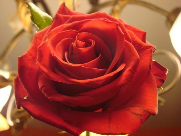 Rose_baroque_(2233749553)