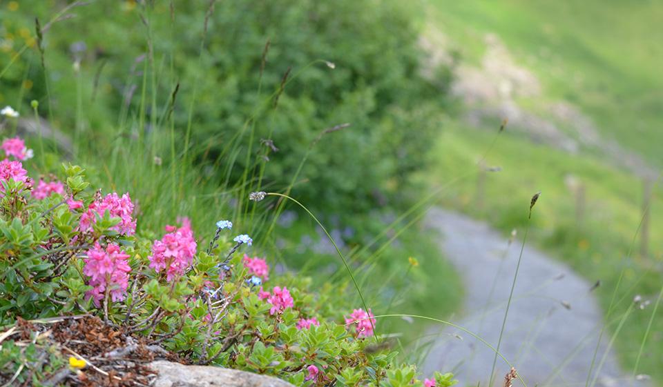 Jetzt in voller Blüte: die Alpenflora am Flumserberg, © Heidiland Tourismus