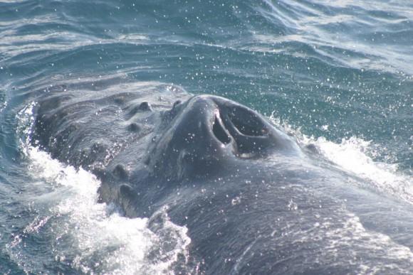 INFO_Buckelwal Blasloecher_humpback_flickr_anim0944_NOAA Photo Library_CC2.0