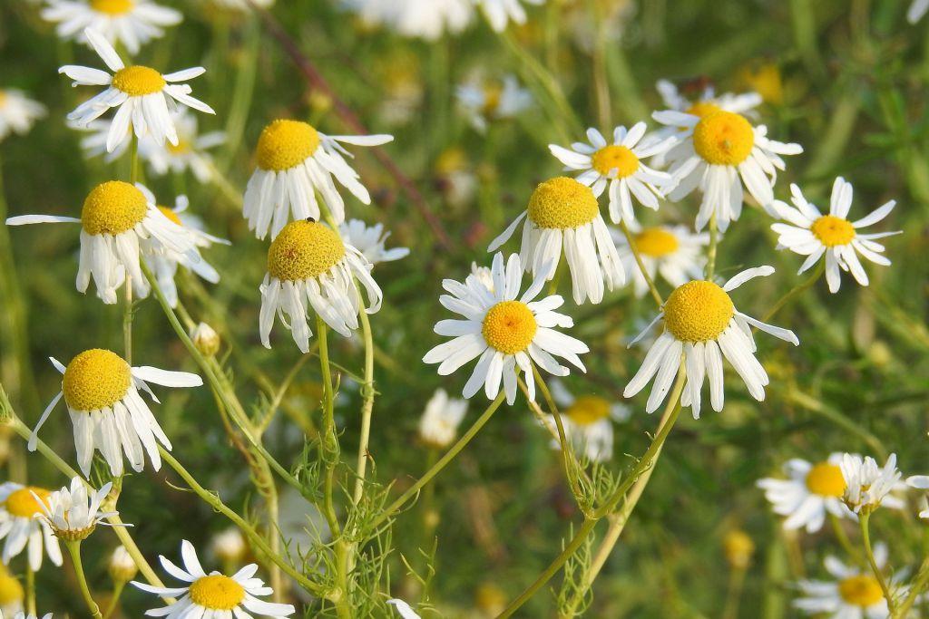 chamomile-1479190_1920_pixabay_Hans Benn