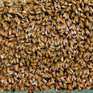Faszination Bienenkönigin