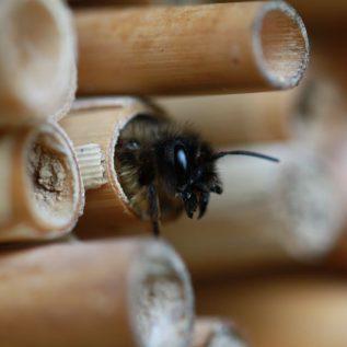 Wildbienen beobachten